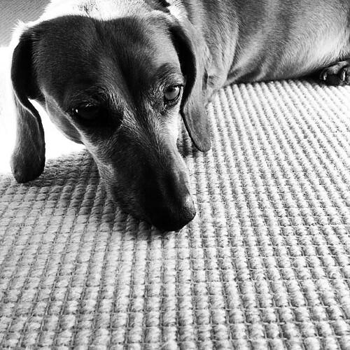 The sun is out! #instadog #instadachshund #dachshund #dogsofmaine