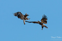 Juvenile Bald Eagles Play in the Sky Sequence - 4 of 10