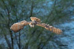 barn owl (TARIQ HAMEED SULEMANI) Tags: travel pakistan tourism nature birds barn trekking nikon owl sensational punjab tariq barnowl sulemani tariqhameedsulemani jahanian