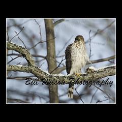 Cooper's Hawk (wildlifephotonj) Tags: bird nature birds hawk wildlife raptor raptors hawks coopershawk naturephotography naturephotos wildlifephotography wildlifephotos natureprints wildlifephotographynj naturephotographynj