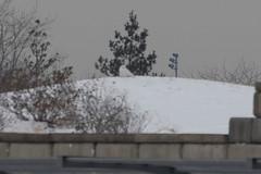 Distant Snowy Owl (surfbird917) Tags: liberty newjersey jerseycity unitedstates snowy bad nj terrible owl jersey far distant libertystatepark lsp