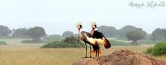 Flickr panel cropped (Hannah Nicholas Photography) Tags: africa travel ecology crane wildlife uganda biology africanwildlife avianfauna hannahnicholas hannahnicholasphotography