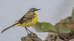 La Printanire (R - P Photography) Tags: bird nature birds yellow jaune canon schweiz switzerland suisse fribourg oiseau oiseaux vaud faune broye canoneos7dmarkii canonef500mmf4isii