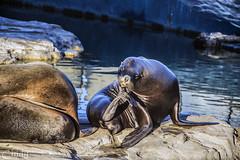 (Cindy en Israel) Tags: espaa valencia fauna animales ciudaddelasartesylasciencias oceangrafo lobodemar animalesmarinos