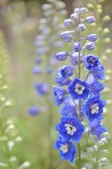 translucent blue (snowshoe hare*) Tags: flowers blue botanicalgarden delphinium larkspur dsc0948