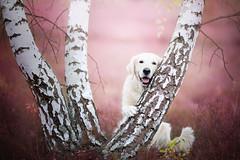 KIARA  Biggest love (Alicja Zmysowska) Tags: autumn trees summer dog pet pets tree cute art dogs forest goldenretriever photography golden hug arts poland retriever kiara dogphotography dogart