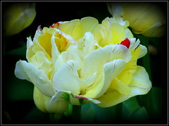 Natural Wonder (dimaruss34) Tags: newyork flower brooklyn image tulip dmitriyfomenko