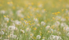Field of yellow and white (Paul van Agthoven) Tags: holland canon zoom bokeh natuur ii zomer l usm lente dieren kleuren 100400 70d
