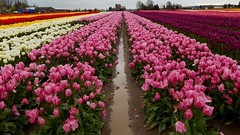 Skagit Valley Tulip Festival (anamericanoutlander) Tags: seattle travel pink flowers usa flower love nature beautiful festival landscape outdoors us washington tulips united tulip wa states traveling