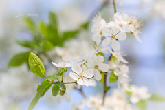 Summer visiting Spring (nemi1968) Tags: flowers blue sky white flower macro green oslo closeup canon cherry petals spring stem bokeh outdoor ngc may petal stems botanicalgarden cherrytree botaniskhage markiii canon5dmarkiii ef100mmf28lmacroisusm kirsebrtrr