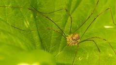 Opilion, dit aussi faucheur ou faucheux (andrscho) Tags: nature marais araigne arachnide opilion faucheur faucheux
