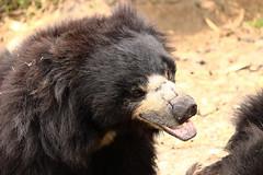 Bear talks (Rohit Tulsiyan) Tags: bear wild animal nationalpark bangalore banerghatta