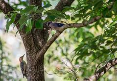 Tree Duo (Gabriel FW Koch) Tags: blue red wild brown sun sunlight tree green bird nature leaves birds animals eos woodpecker dof natural feeding bokeh wildlife bluejay redhead telephoto bark dogwood redbreastedwoodpecker