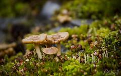 Fungus Family (PJEnsell) Tags: wild green nature mushroom beauty forest moss floor soil fungus simple depth fairyrings