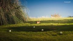 Follow the Rabbit (Quicksil7er) Tags: blue ireland sunset shadow sky rabbit green field ball golf fun nikon 169 d700 quicksil7er