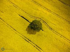 Tree ([inFocus]) Tags: england sky colour tree field lines yellow landscape flying cheshire unitedkingdom aerial crop gb radiocontrol drone oilseedrape phantom4 dji kidsgrove