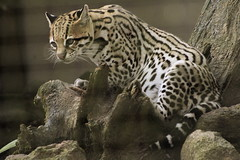 _K3G0109 (julioleite) Tags: nature animals fauna canon eos mark iii natureza ii 1d felinos 75300mm animais mata ef pantanal atlantica amazonia