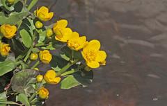 Populage des marais / Marsh Marigold (alain.maire) Tags: plant canada flower nature fleur yellow jaune plante quebec ranunculaceae marshmarigold calthapalustris kingcup populagedesmarais