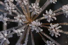 icy starburst (diminoc) Tags: morning winter cold macro ice closeup frost crystal cowparsley