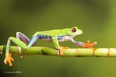 Red Eye Tree Frog D75_2737.jpg (Mobile Lynn) Tags: england nature fauna unitedkingdom wildlife ngc amphibian frog npc captive bournemouth agalychniscallidryas coth greatphotographers redeyetreefrog specanimal coth5 sunrays5