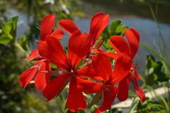 Summer Feelings (detouteslescouleurs63) Tags: red summer flower rot fleur rouge rojo estate sommer flor verano t blume fiore rosso geranie granium