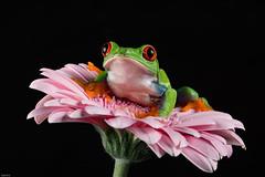 Pretty in (on) pink (Explored) (susie2778) Tags: studio nikon flash gerbera captive agalychniscallidryas redeyedtreefrog sigma105macro d7100 captivelight