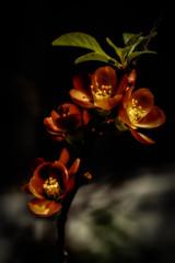 quaRtet.jpg (christophersears94) Tags: toronto ontario canada fleur garden spring frontyard quince canon6d canon100f28lismacro