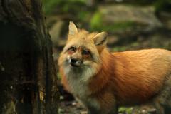 Renard (eminorah) Tags: fox rhodes regard renard saintecroix renardroux parcanimalier