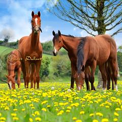 Horses of Ireland. (Edward Dullard Photography. Kilkenny, Ireland.) Tags: kilkenny ireland horses horse animal landscape photoart equine leinster laois durrow edwarddullardphotography oldkilkennyphotos oldphotographsofkilkenny oldpicturesofkilkenny