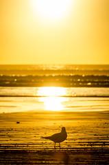 Oreti Beach sunset (Kathrin & Stefan) Tags: ocean sunset newzealand sky bird beach nature animal silhouette backlight sand outdoor gull wave southisland tasmansea invercargill foveauxstrait oretibeach