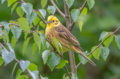 JWL9395 Yellowhammer. (jefflack Wildlife&Nature) Tags: nature birds countryside woodlands wildlife farmland finch finches avian songbirds yellowhammer wildbirds hedgerows