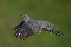Cuckoo (Simon Stobart (back but busy)) Tags: cuckoo flying northeastengland greaterphotographers