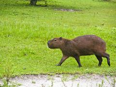 Capybaras (4 of 4) (Daniela Parra F.) Tags: capybaras capybara caviomorphs rodents giantrodent southamerica southamerican hystricognato caviomorfos roedores roedoresgigantes grazing social sociality roedoressociales rodentsocieties societies socialgroups rodent animales animals animal ratones giant sudamericano mamifero mamfero mammal mammals