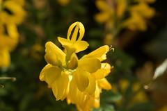Kanarischer Ginster (cytisus canariensis), auch Zimmerginster genannt - Canary broom (riesebusch) Tags: berlin garten marzahn
