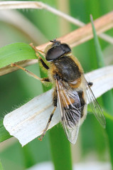 Hoverfly- Eristalis pertinax (linanjohn) Tags: uk macro nature wildlife insects lincolnshire syrphidae diptera hoverflies eristalinae eristalispertinax eristalini snakeholmepit