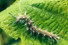 Oruga II (marioarana1) Tags: 7d bug cr canon costarica florayfauna guanacaste insecto macro marioarana naturephotography oruga