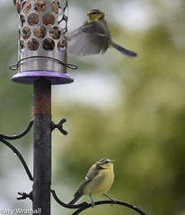 Like this! (Katy Wrathall) Tags: 2016 bluetit eastriding eastyorkshire england june summer baby birds feeders garden 30dayswild