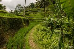 The Rice Fields (davidgevert) Tags: bali green indonesia landscape nikon rice cloudy overcast ricefields d800 travelphotography nikon2470mmf28 nikond800 balilandscape davidgevert gevertphotography