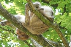 Monkey Forest (tim ellis) Tags: uk animal comfortable monkey sleep stokeontrent primate macaque monkeyforest trenthamgardens barbarymacaque banch macacasylvanus oldworldmonkey