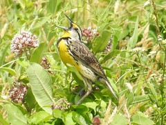 Singing Male Eastern Meadowlark (Sturnella magna) (Nature In a Snap) Tags: birding birdwatching bird wildlife mercer meadows reedbryan farm pennington nj 2016 nature winged eastern meadowlark grassland songbird sturnella magna male singing perched