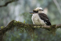 The Kookaburra sits... (Eduardo_il_Magnifico) Tags: tree bird nationalpark bush branch silent australia nsw kingfisher newsouthwales kookaburra barringtontops tamron70300mm bookeh barringtontopsnationalpark nikond750 thekookaburrasitsintheoldgumtree