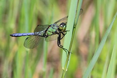 Awaiting the next breeze.... (Paridae) Tags: odonata dragonfly dragonfliesofbritishcolumbia dragonfliesofthewetlands insectsofbritishcolumbia insects insectsofcanada insecteaters thingswithwings afewofmyfavouritethings canoneos7d grassriding funinthesun
