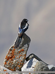 Black-billed Magpie (Pica hudsonia) (gilgit2) Tags: avifauna birds blackbilledmagpiepicahudsonia canon canoneos7dmarkii category fauna feathers geotagged gilgitbaltistan hunza imranshah khuwattop location pakistan species tags tamron tamronsp150600mmf563divcusd wildlife wings gilgit2 picahudsonia commonmagpiepicapica picapica 05birds