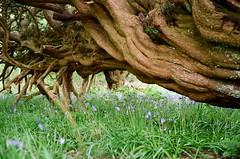 Branches (strzez wartosci) Tags: film analog forest scotland highlands minolta hiking rangefinder trail westhighlandway minoltahimatic
