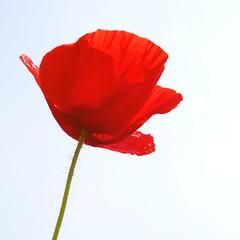 Poppy - Mohn - pavot (Knarfs1) Tags: flower nature fleur field spring outdoor natur feld wiese poppy blume blte purely pavot mohn