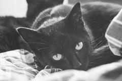 IMG_4159-2 (BalthasarLeopold) Tags: pet cats pets animal animals cat blackcat mammal kitten feline dof kittens felines blackcats indoorcat dephtoffield
