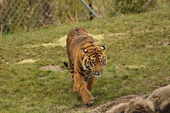 Islands at Chester Zoo (131) (rs1979) Tags: zoo islands tiger chester sumatrantiger chesterzoo