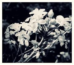 springtime (kurtwolf303) Tags: bw plant nature topf25 contrast topf50 500v20f natur blossoms pflanze sw kontrast 800views springtime frhling blten compactcamera schwarzweis 1000v40f 250v10f monochromefineart unlimitedphotos nikoncoolpixs9900