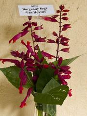 Salvia Van Houttei