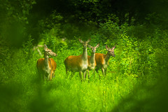 Group of hinds. (adambotond) Tags: red wild nature animal canon mammal hungary outdoor wildlife deer telephoto magyar hind reddeer naturephotography magyarorszg ruminant cervuselaphus wildlifephotography gemenc canoneos6d canonef500f4lisusmii